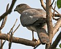 Shikra (Accipiter badius) in Hyderabad W IMG 7158.jpg