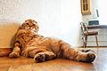 Shotlandskiy cat pchelnikov.jpg