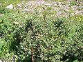 Shrubby Cinquefoil (Pentaphylloides fruticosa) in Logan Pass - Flickr - Jay Sturner.jpg