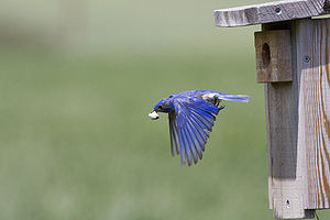 Fecal sac - Many species, such as the western bluebird, carry fecal sacs some distance from the nest.