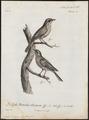 Sialia wilsonii - 1796-1808 - Print - Iconographia Zoologica - Special Collections University of Amsterdam - UBA01 IZ16200374.tif