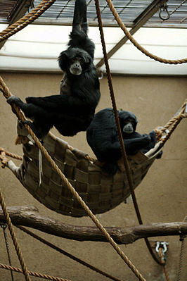 Siamangs in Burgers Zoo