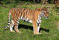 Sibirischer Tiger Panthera tigris altaica Tierpark Hellabrunn-14.jpg