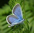 Silver-studded Blue Plebejus argus male (43763950970).jpg