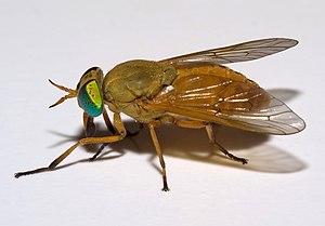 Silvius (insect) - Silvius alpinus