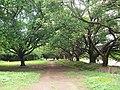Single File Banyan Trees - panoramio.jpg