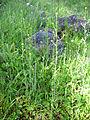 Sisymbrium runcinatum Habito 2011-4-10 SierraMadrona.jpg