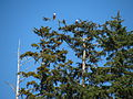 Sitka Spruce with Bald Eagles.jpg