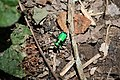 Six Spotted Tiger Beetle top (4631210728).jpg