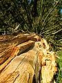 Smrky u Hostákova - ztrouchnivělé jádro stromu.jpg