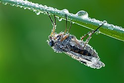Snipe fly Rhagio scolopaceus with dew.jpg