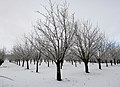Snowy Orchard by Jeff Sanders (8272126645).jpg
