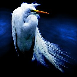 Snowy egret – Angel Dust.jpg