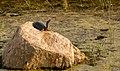 Soft Shell Turtle (93524375).jpeg