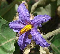 Solanum lycocarpum flower