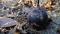 Solanum prinophyllum ripe fruit (14976437321).jpg