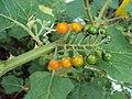 Solanum violaceum 03.JPG