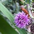 Soldier beetle (20408586410).jpg