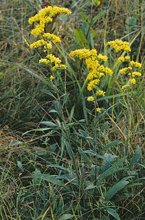 Goldenrod list of plants with the same or similar names
