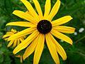 Sonnenhut Asteraceae.jpg