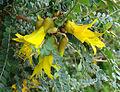 Sophora cassioides (8434473636).jpg