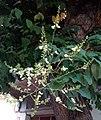 Sophora japonica - σοφόρα ιαπωνική.jpg