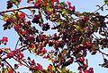Sorbus aucuparia20090812 415.jpg