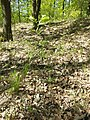 Sorbus domestica sl32.jpg