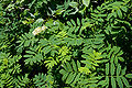 Sorbus matsumurana 05.jpg