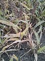 Sorghum ready for harvest with keys for scale..jpg