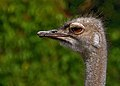South African ostrich in The Kiev Zoo.jpg