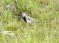 Southern Lapwing. Vanellus chilensis - Flickr - gailhampshire.jpg