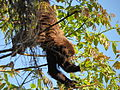 Southern brown howler monkey female sp zoo 2.JPG