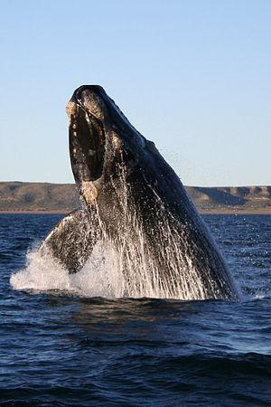Right whale - Southern right whale breaching