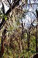 Spanish Moss - panoramio.jpg
