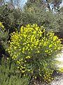 Spartium junceum - אחירותם החורש.jpg