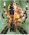 SpiderEpygine-02.jpg
