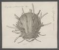 Spondylus americanus - - Print - Iconographia Zoologica - Special Collections University of Amsterdam - UBAINV0274 074 10 0009.tif