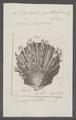 Spondylus spathuliferus - - Print - Iconographia Zoologica - Special Collections University of Amsterdam - UBAINV0274 074 10 0020.tif