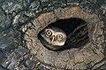 Spotted Owlet (Athene brama) at Kolkata I IMG 2200.jpg