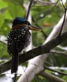 Spotted kingfisher (Actenoides lindsayi) (7184497862) (cropped).jpg