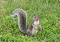 Squirrel Chicago October 2016-2.jpg