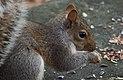 Squirrel in Central Park (10100).jpg