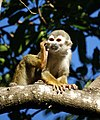 Squirrel monkey (4233060133).jpg