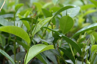 Sri Lanka's most widely known export, Ceylon tea, which ISO considers the cleanest tea in the world in terms of pesticide residues. Sri Lanka is also the world's 2nd largest exporter of tea. Sri Lanka 030.jpg