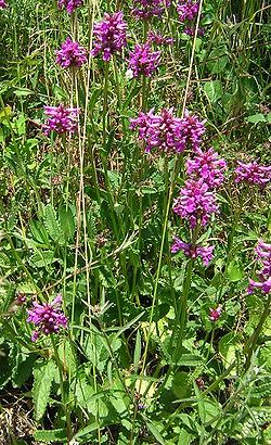 Stachys officinalis3.jpg