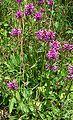 Stachys officinalis3.jpg