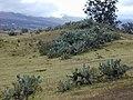 Starr-010419-0007-Opuntia ficus indica-habit-Kula-Maui (24164410869).jpg