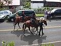 Starr-030705-0034-Cordyline fruticosa-July 4 Parade-Makawao-Maui (24528646182).jpg