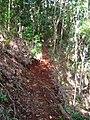 Starr-041121-1045-Cordyline fruticosa-trail building-Makawao Forest Reserve-Maui (24424585380).jpg